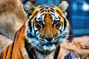 ジャカルタの虎 画像